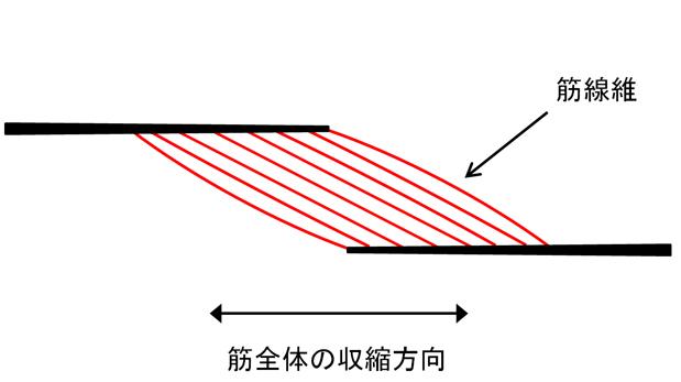 羽状筋  に対する画像結果